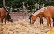 Mastigação: primeira etapa da digestão de equinos