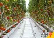 Pragas que atacam os tomateiros