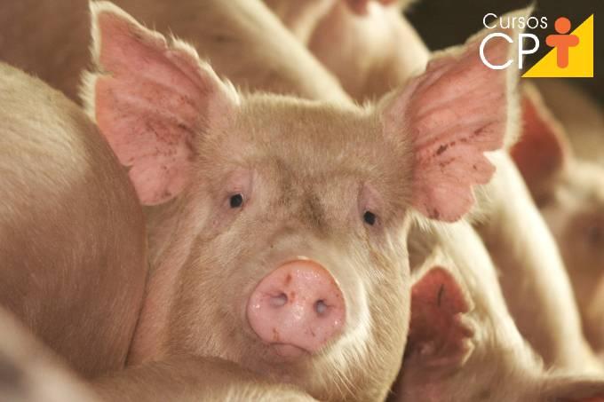Dicas de transporte de suínos para abate
