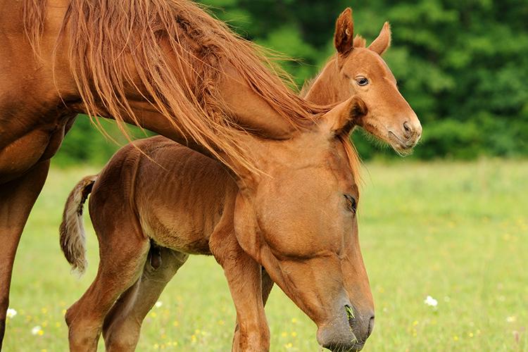 Égua e potro - imagem ilustrativa