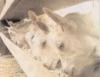 Criação de Cabras, técnica que dá lucro