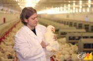 Cuidados essenciais no manejo sanitário de frangos de corte