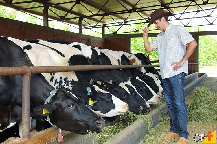 Gado leiteiro comendo - imagem ilustrativa