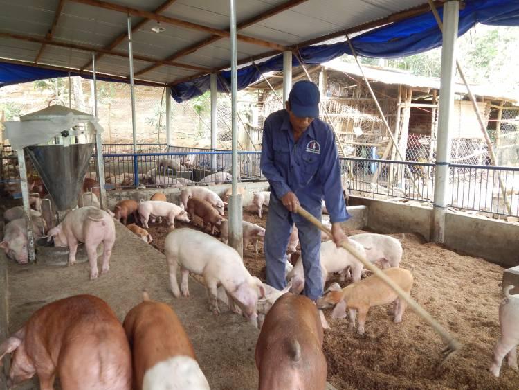 4 grandes vantagens da criação de suínos em camas sobrepostas