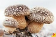 O cogumelo shiitake e seu cultivo