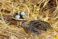 Como garantir que as codornas produzam ovos