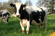 As melhores práticas de manejo alimentar para bovinos de leite
