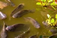 O segredo da criação de tilápias em tanques escavados? A água
