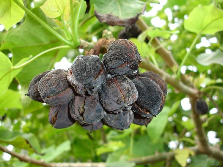 30 importantes razões para cultivar pinhão-manso