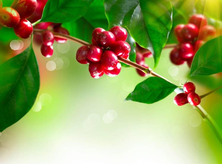 Miniguia especial para plantar e cultivar café