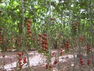 O cultivo de tomates em sistema hidropônico entra no mercado com grandes perspectivas de lucro ao produtor rural.