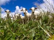 Pecuarista, conheça as 3 fases da criação de bovinos de corte