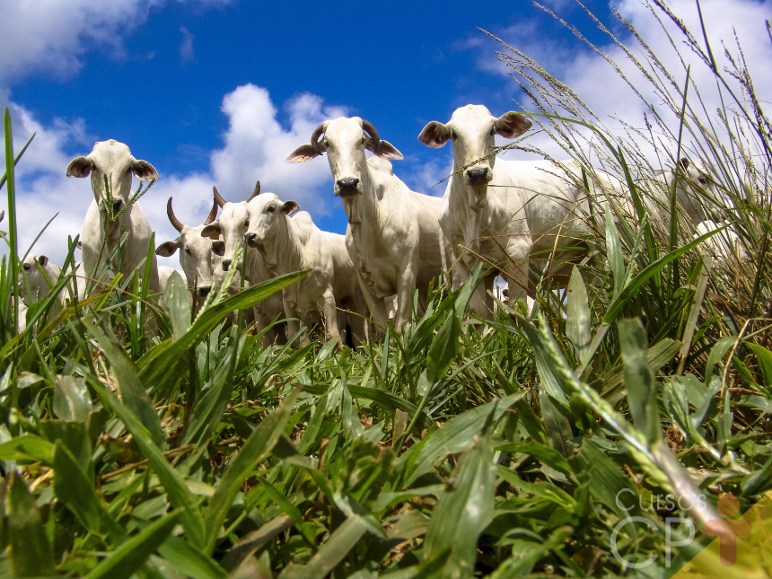 Pecuarista, conheça as 3 fazes da criação de bovinos de corte   Artigos Cursos CPT