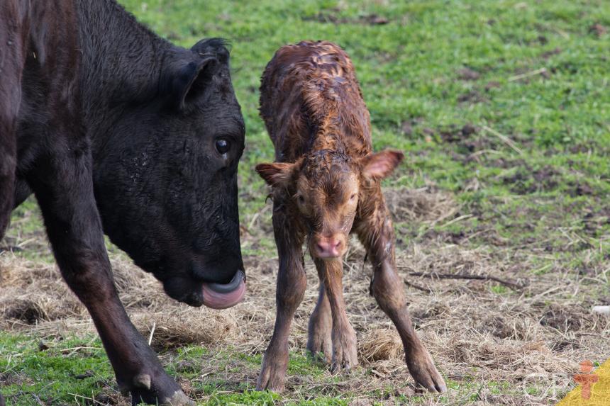 Bezerros recém-nascidos: o que fazer quando a vaca nega o filho?   Dicas Cursos CPT