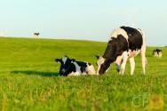 Vacas gestantes: principais cuidados pré-parto