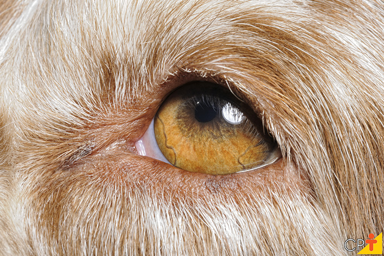 Olho cão - imagem ilustrativa