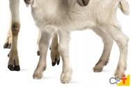 Como cuidar dos cascos de caprinos
