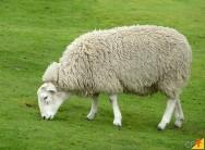 Quais são as condições fundamentais para criar ovinos?