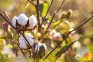 2 terríveis pragas do algodão que podem ser exterminadas