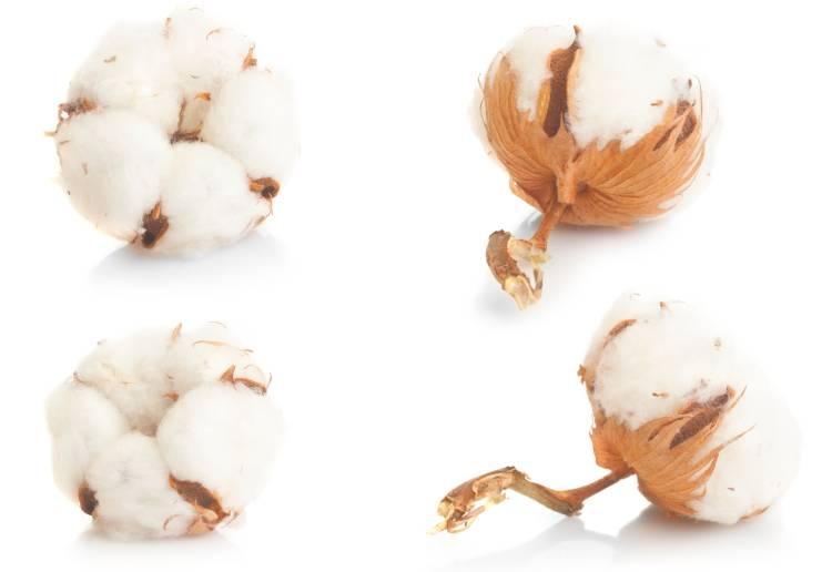 Descubra como é feito o beneficiamento do algodão