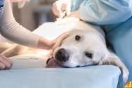 Leishmaniose visceral em cães: fique atento!