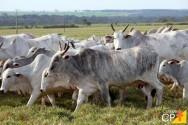 Sim, o gado é seletivo e gosta de boas forrageiras ao pastejar