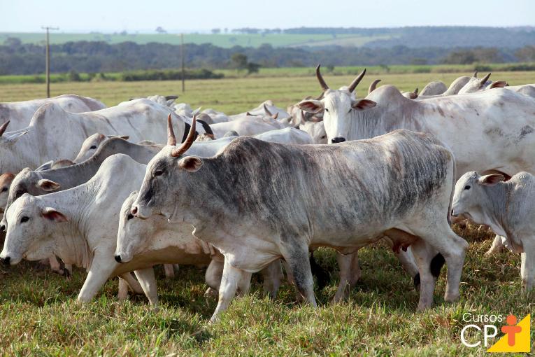 Sim, o gado é seletivo e gosta de boas forrageiras ao pastejar   Artigos CPT