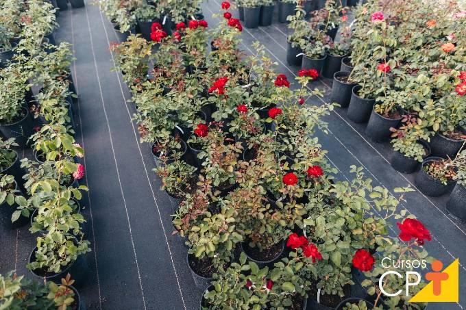 Descubra agora como cultivar rosas orgânicas