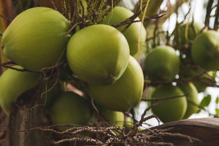 Tire suas dúvidas sobre produção de coco