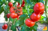 7 doenças do tomateiro causadas por fungos