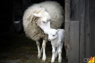 Identificação e reprodução de ovinos