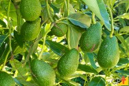 Como controlar as pragas e doenças do abacateiro?