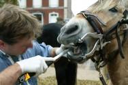 Alterações odontológicas em equinos que demandam extração a campo
