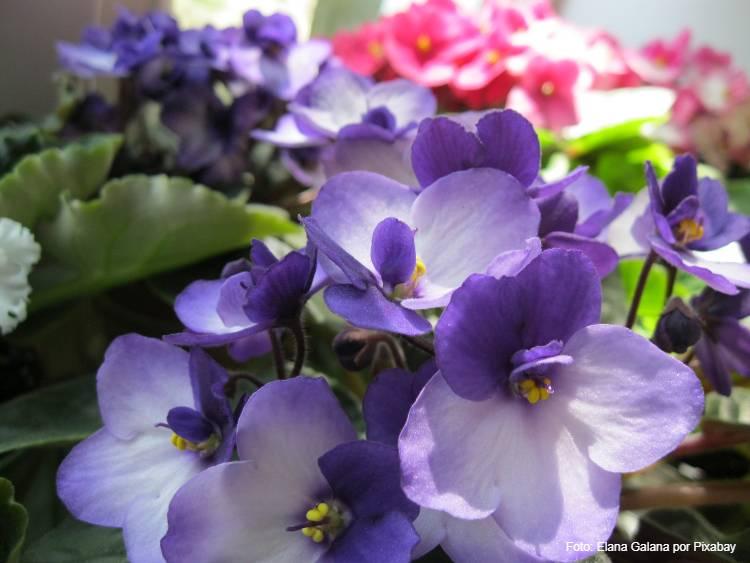 Como produzir violetas para vender