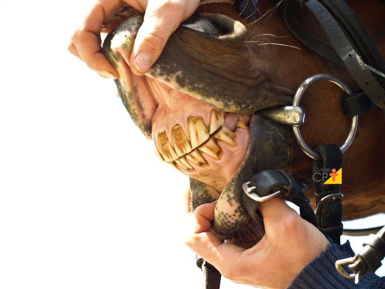 Dentes incisivos de cavalos: como avaliar?   Artigos Cursos CPT