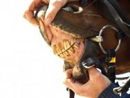 Dentes incisivos de cavalos: como avaliar?