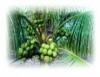 Produção de coco para consumo de água