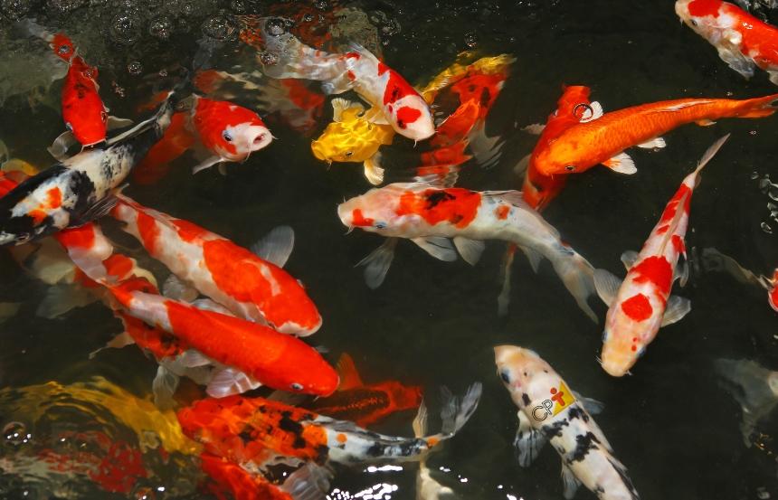 Cultivo de peixes em sistemas fechados. Conheça as vantagens   Artigos CPT