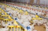 Criação de frangos em alta densidade exige ração especial