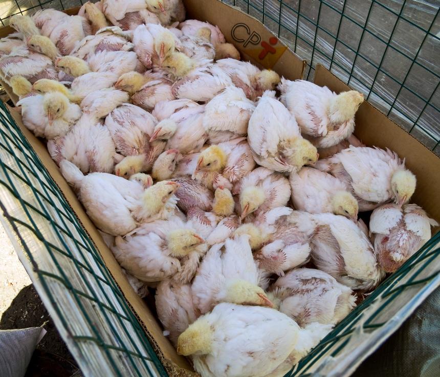 Dicas para identificar a pasteurelose (cólera aviária) em galinhas    Dicas CPT