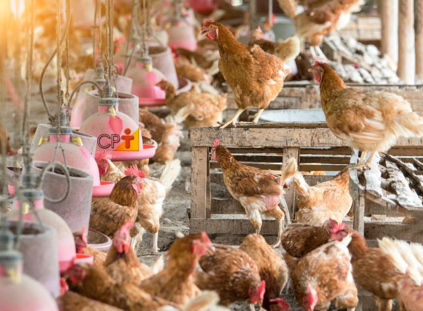Dicas para o Manejo da Pega na granja de galinhas   CPT