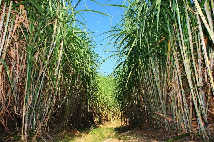 Principais problemas da colheita mecanizada da cana