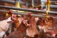 5 passos para iniciar uma granja de frangos de alta densidade