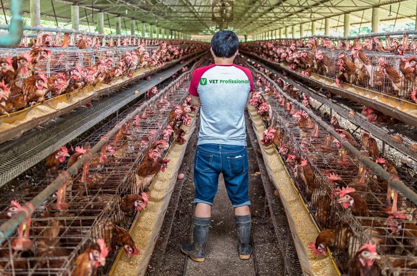 Veterinário: ajude seu cliente na escolha do tipo de granja de frango   VetProfissional