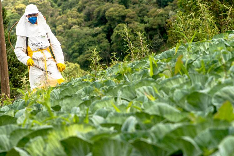 Dicas simples para plantar taioba
