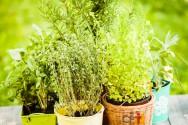 Cultive plantas medicinais em casa. Você só tem a ganhar!