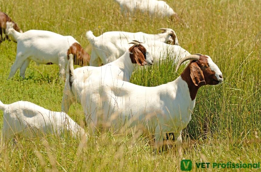 Veterinário, tire dúvidas de seus clientes quanto à criação de caprinos   VetProfissional