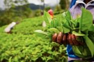 Como colher plantas medicinais