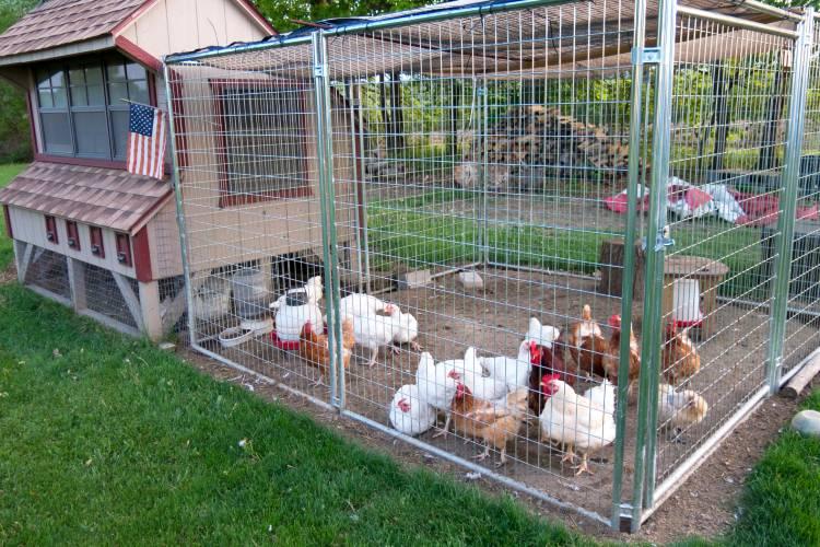 Dicas para impedir que as galinhas comam seus próprios ovos