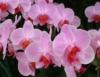 Orquídeas necessitam de cuidados para manter a beleza